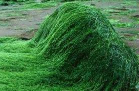 Imagen de la alga Spirulina